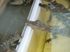 Baby Gators. Click photo for full size.
